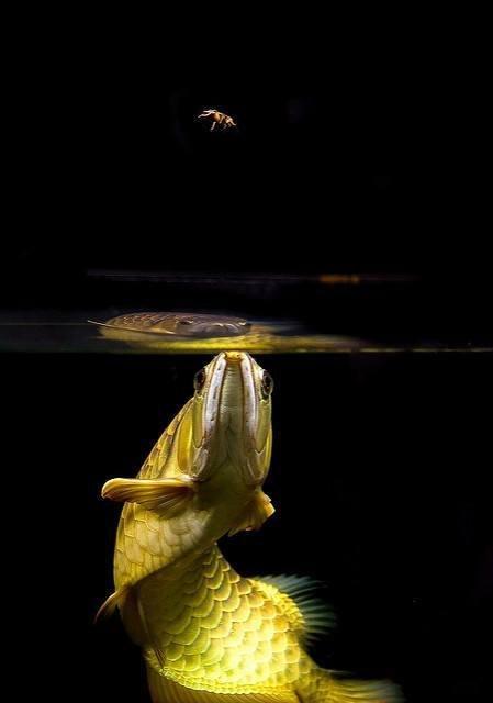 Beautiful arowana in a fish tank