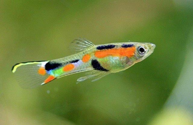 Endler's Guppy in a mid-sized aquarium.