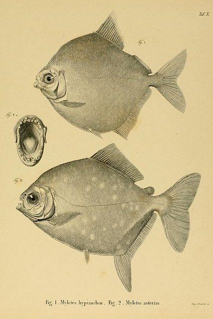 Silver Dollar Fish Metynnis Hypsauchen