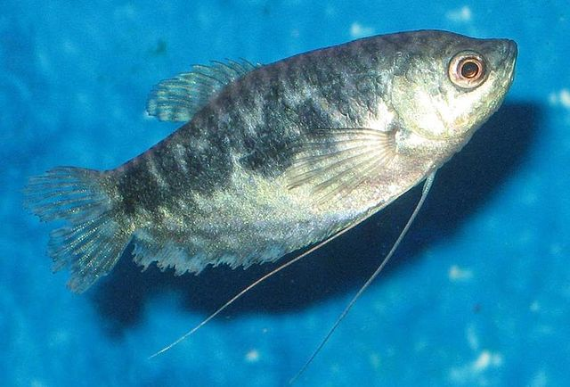 Female Opaline Gourami