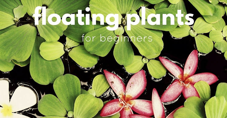 floating aquarium plants for beginners