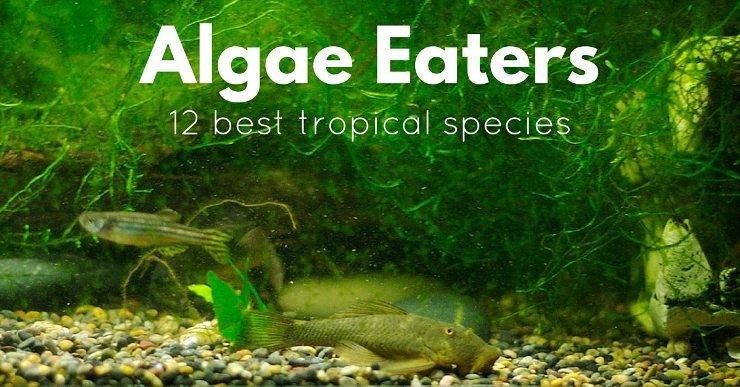 freshwater algae eaters