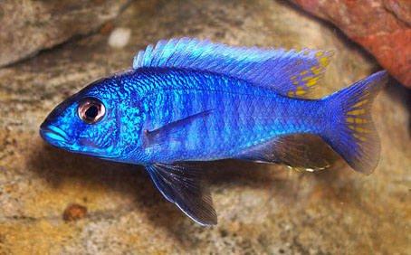 Sciaenochromis Fryeri Malawi Cichlid Care