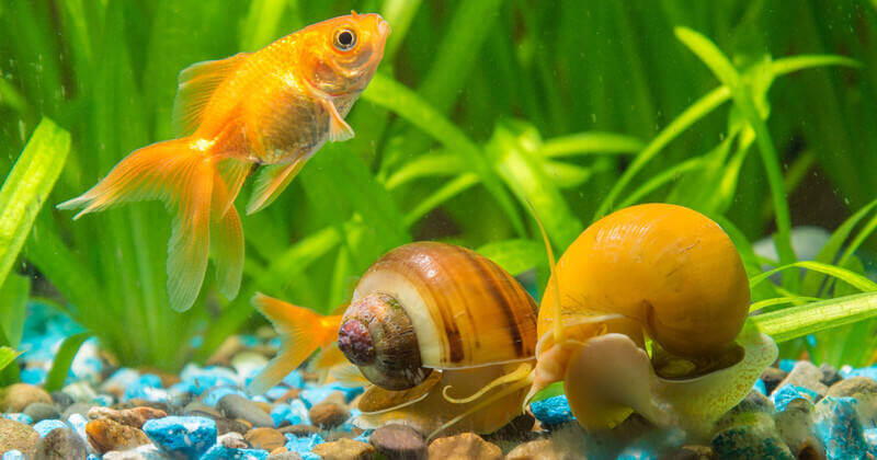 Aquarium Snails Complete Guide Types