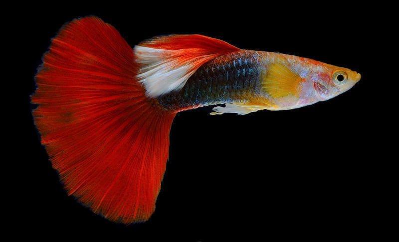 Guppy Poecilia Reticulata Fish Profile Care