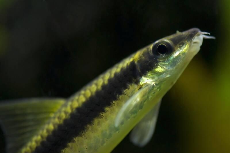 Siamese Algae Eater Care Guide Tank Setup Breeding