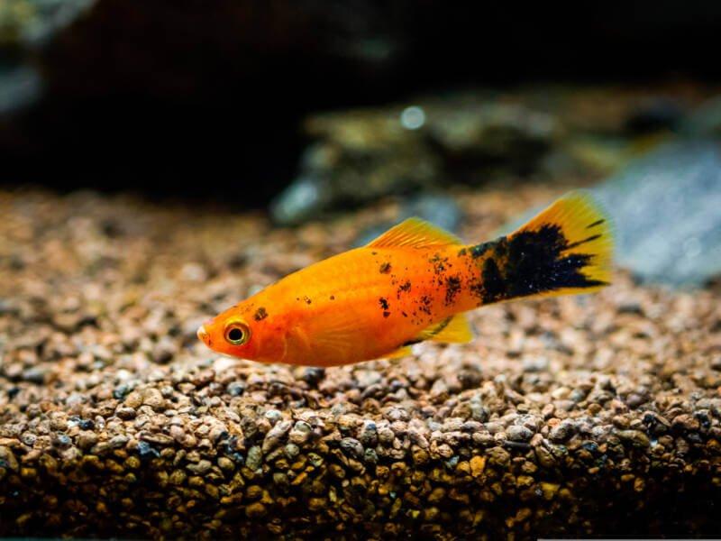 Platy Fish Care Guide Tank Setup Mates Diet