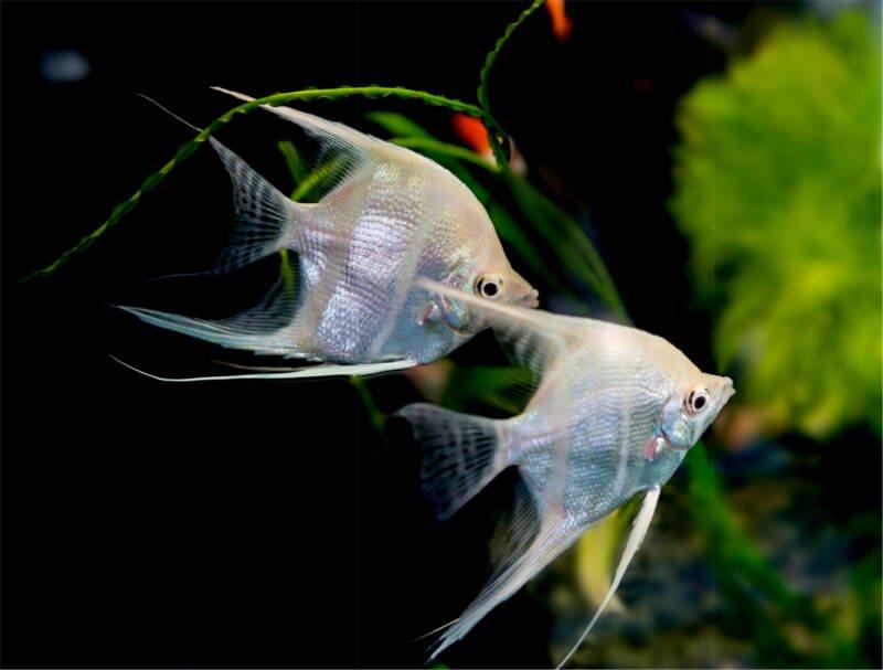 Freshwater Angelfish Types Tank Mates Care